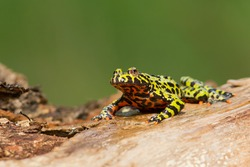 Oriental fire-bellied toad is a small semiaquatic frog species found in Korea, northeastern China, and adjacent parts of Russia. Typically a bright green with black mottling on their dorsal regions