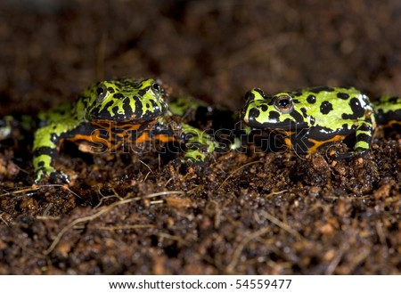 oriental fire bellied toads together in dirt , china, green frog
