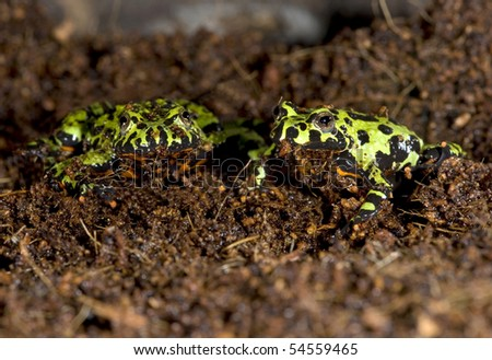 oriental fire bellied toads together trying to hide in dirt , china, green frog - stock photo