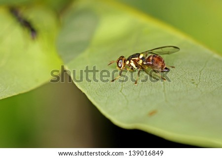 Oriental fruit fly is staying on the green leaf