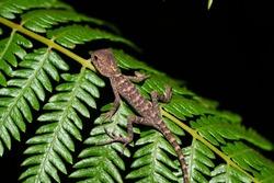 Oriental garden lizard (Calotes versicolor) - Garden lizards are sleeping on tree branches, camouflage garden lizards. Close up chameleon details.