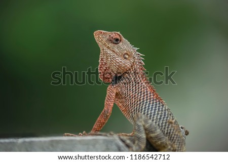Oriental garden lizard (Calotes versicolor). The ground-colour is generally a light brownish olive, but the lizard can change it to bright red, to black, and to a mixture of both.