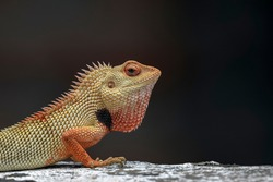 Oriental garden lizard, eastern garden lizard or changeable lizard (Calotes versicolor). The ground-color is generally a light brownish olive, but the lizard can change it to bright red, to black.