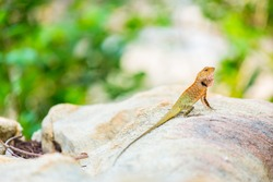 Oriental Garden Lizard, eastern garden lizard or changeable lizard on the rock against green background in natural garden
