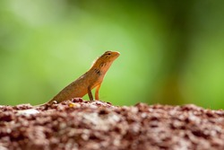 Oriental Garden Lizard, eastern garden lizard or changeable lizard on the rock against green background in natural garden