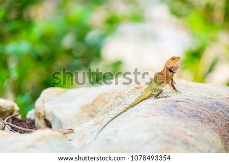 Oriental Garden Lizard, eastern garden lizard or changeable lizard on the rock against green background in natural garden - Shutterstock ID 1078493354
