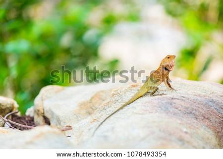 oriental garden lizard  eastern ...
