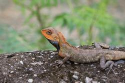 Oriental Garden Lizard or Changeable Lizard (Calotes versicolor).