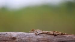 Oriental Garden Lizard or  eastern garden lizard, Calotes versicolor, India