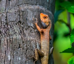 Oriental Garden Lizard or Indian Garden Lizard Calotes versicolor at Kolkata, West Bengal, India.
