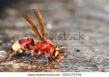 Oriental hornet - Vespa orientalis, Crete #1025175796