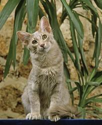 ORIENTAL LONGHAIR DOMESTIC CAT, ADULT SITTING NEAR GREEN PLANT