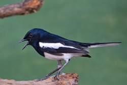 Oriental Magpie Robin bird perched on a branch with beak open