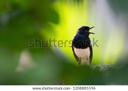 Oriental Magpie Robin male bird standing on house fence singing and calling its couple with bright natural blurred background.Bird in black and white color opening mouth wide,front view. #1208885596