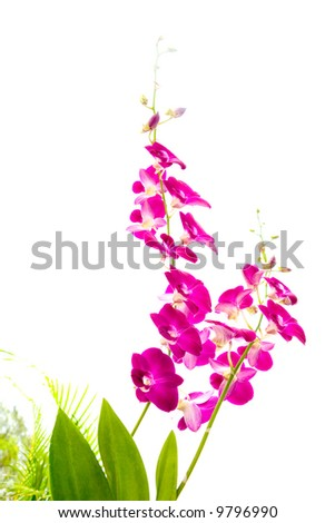 Oriental orchids with broad leaves against some palm fronds in the tropics