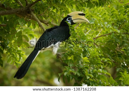 Oriental Pied-Hornbill - Anthracoceros albirostris large canopy-dwelling bird belonging to the Bucerotidae. Other common names are sunda pied hornbill (convexus) and Malaysian pied hornbill.