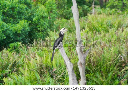 Oriental Pied-Hornbill - Anthracoceros albirostris large canopy-dwelling bird belonging to the Bucerotidae. Other common names are sunda pied hornbill (convexus) and Malaysian pied hornbill