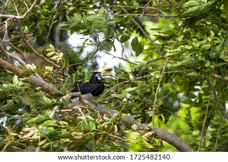 Oriental Pied-Hornbill - Anthracoceros albirostris large canopy-dwelling bird belonging to the Bucerotidae.