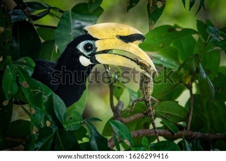 Oriental Pied-Hornbill - Anthracoceros albirostris large canopy-dwelling bird in Bucerotidae, sunda pied hornbill (convexus) and Malaysian pied hornbill. Flying, with the prey lizard.