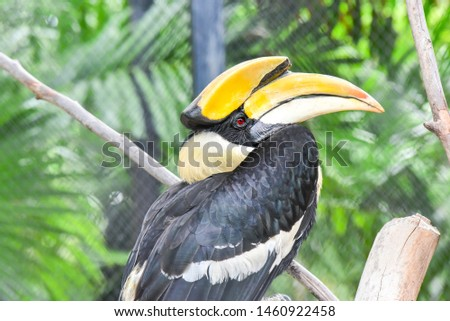 Oriental Pied-Hornbills , Bucerotidae in Thailand ,Colorful toucan.