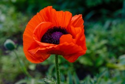 Oriental poppy flower. Papaver orientale is magnificent perennial plant in the garden