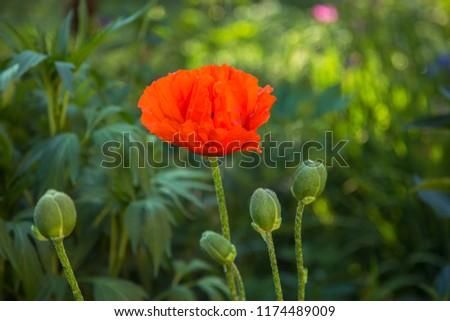 Oriental poppy flower. Papaver orientale is magnificent perennial plant in the garden. Oriental poppy flower. Papaver orientale is magnificent perennial plant in the garden #1174489009