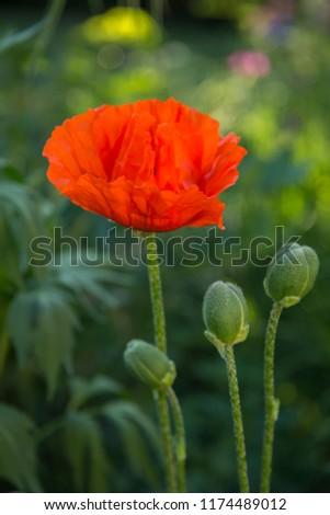Oriental poppy flower. Papaver orientale is magnificent perennial plant in the garden. Oriental poppy flower. Papaver orientale is magnificent perennial plant in the garden #1174489012
