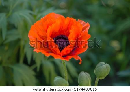 Oriental poppy flower. Papaver orientale is magnificent perennial plant in the garden. Oriental poppy flower. Papaver orientale is magnificent perennial plant in the garden #1174489015