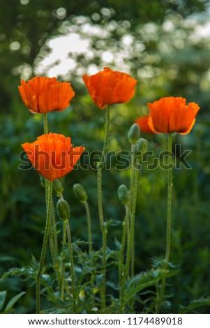 Oriental poppy flower. Papaver orientale is magnificent perennial plant in the garden. Oriental poppy flower. Papaver orientale is magnificent perennial plant in the garden #1174489018