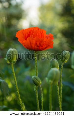 Oriental poppy flower. Papaver orientale is magnificent perennial plant in the garden. Oriental poppy flower. Papaver orientale is magnificent perennial plant in the garden #1174489021