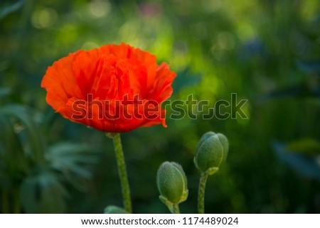 Oriental poppy flower. Papaver orientale is magnificent perennial plant in the garden. Oriental poppy flower. Papaver orientale is magnificent perennial plant in the garden #1174489024