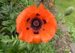 Oriental Poppy (Papaver orientale) in a Country Cottage Garden in Rural Devon, England, UK