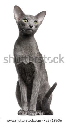 Oriental Shorthair cat, 10 months old, sitting in front of white background #752719636