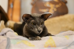 Oriental Shorthair cat sit on bed, brown and black color