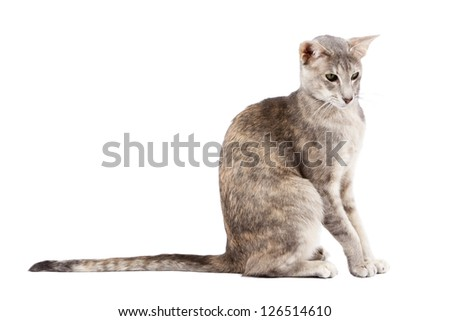 Oriental shorthair cat sitting and watching, isolated on white