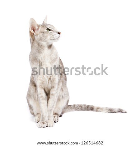 Oriental shorthair cat sitting, looking attentively, isolated on white