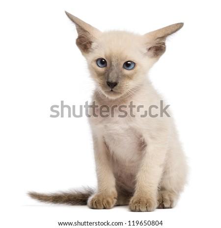 Oriental Shorthair kitten, 9 weeks old, sitting and looking against white background