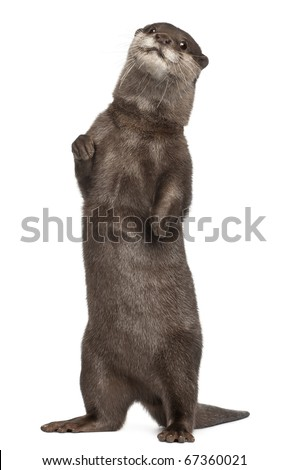 Oriental small-clawed otter, Amblonyx Cinereus, 5 years old, standing in front of white background