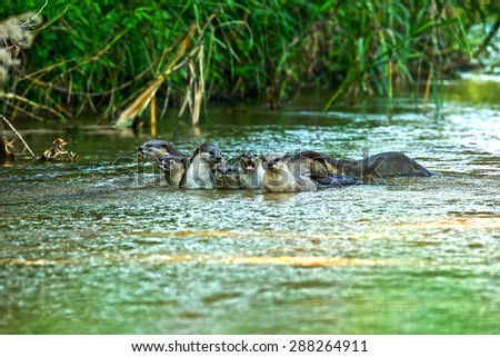 Oriental small-clawed Otter in the stream and nature. Imagine de stoc ©