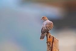 Oriental Turtle Dove, Birds of Himalaya