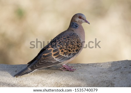 Oriental turtle dove from the Himalayan hill station of Pangoot Zdjęcia stock ©