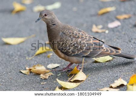 Oriental turtle dove on the asphalt Zdjęcia stock ©