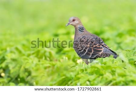 Oriental Turtle Dove rests amongst the leaves Zdjęcia stock ©