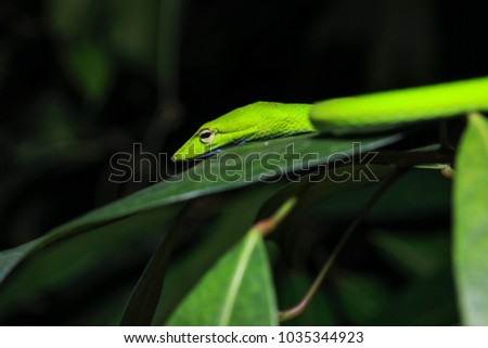 Oriental vine snake (Ahaetulla prasina) isolated, close up #1035344923