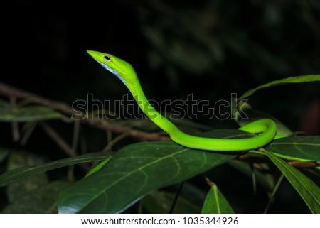 Oriental vine snake (Ahaetulla prasina) isolated, close up #1035344926