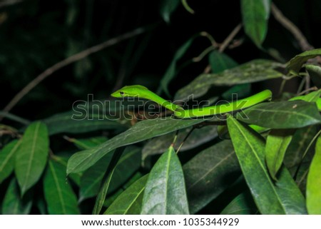 Oriental vine snake (Ahaetulla prasina) isolated, close up #1035344929