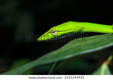 Oriental vine snake (Ahaetulla prasina) isolated, close up #1035344932