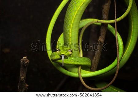 Oriental Whipsnake  (Ahaetulla prasina) all curled up