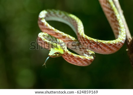 Stock Photo Oriental Whipsnake, Asian Vine green Snake (Ahaetulla prasina) Tangkoko Nature Reserve in North Sulawesi, Indonesia wildlife