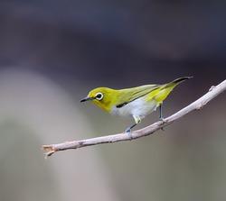 Oriental White-eye Bird of Thailand